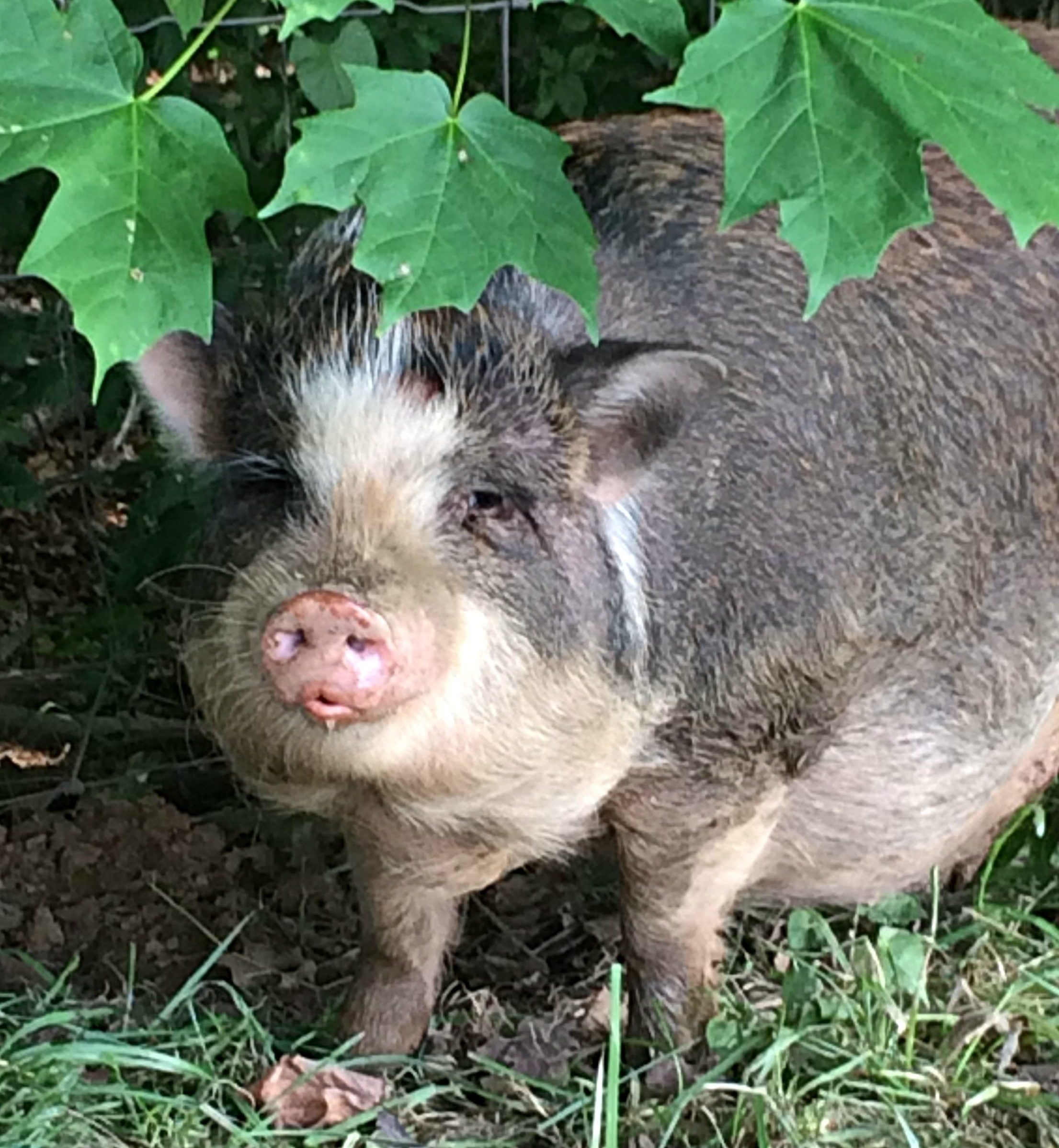 Can You Eat a Potbelly Pig? – Farm Fresh For Life – Real