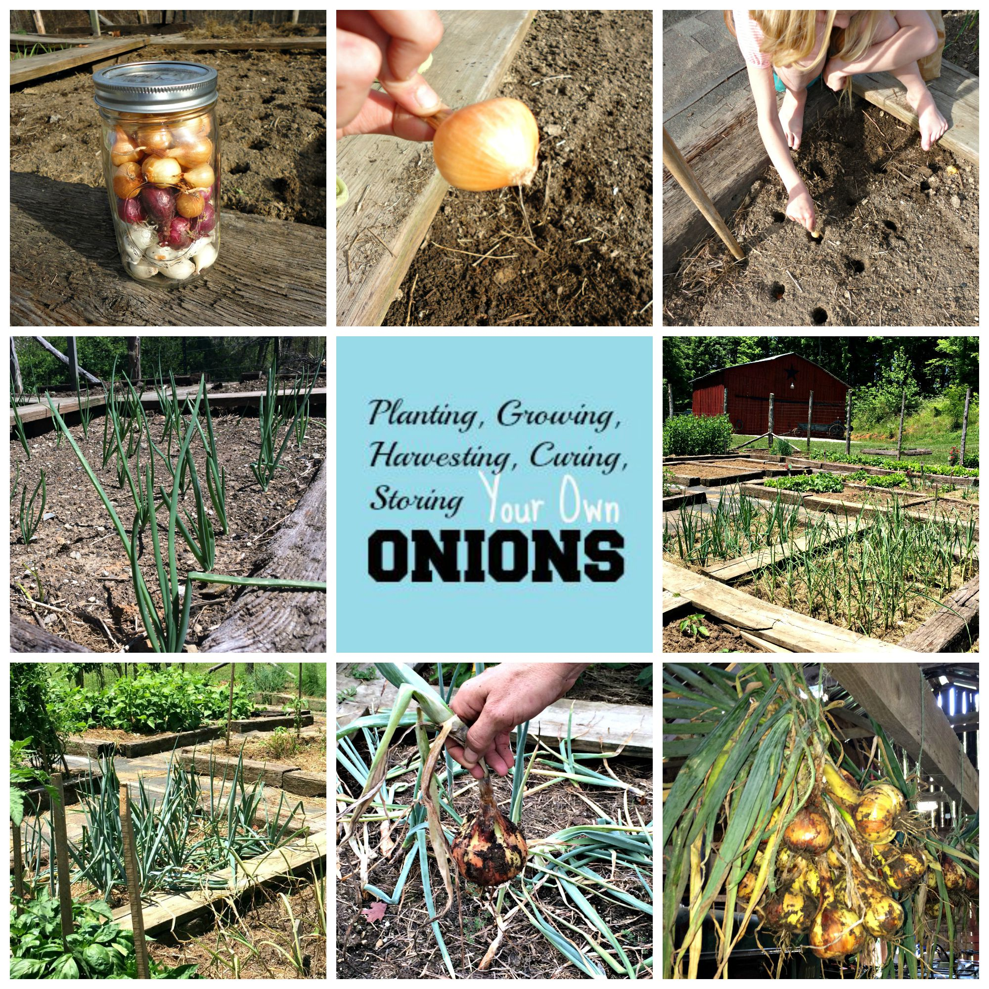 Onions – Everything You Ever Wanted to Know About Planting, Growing ...