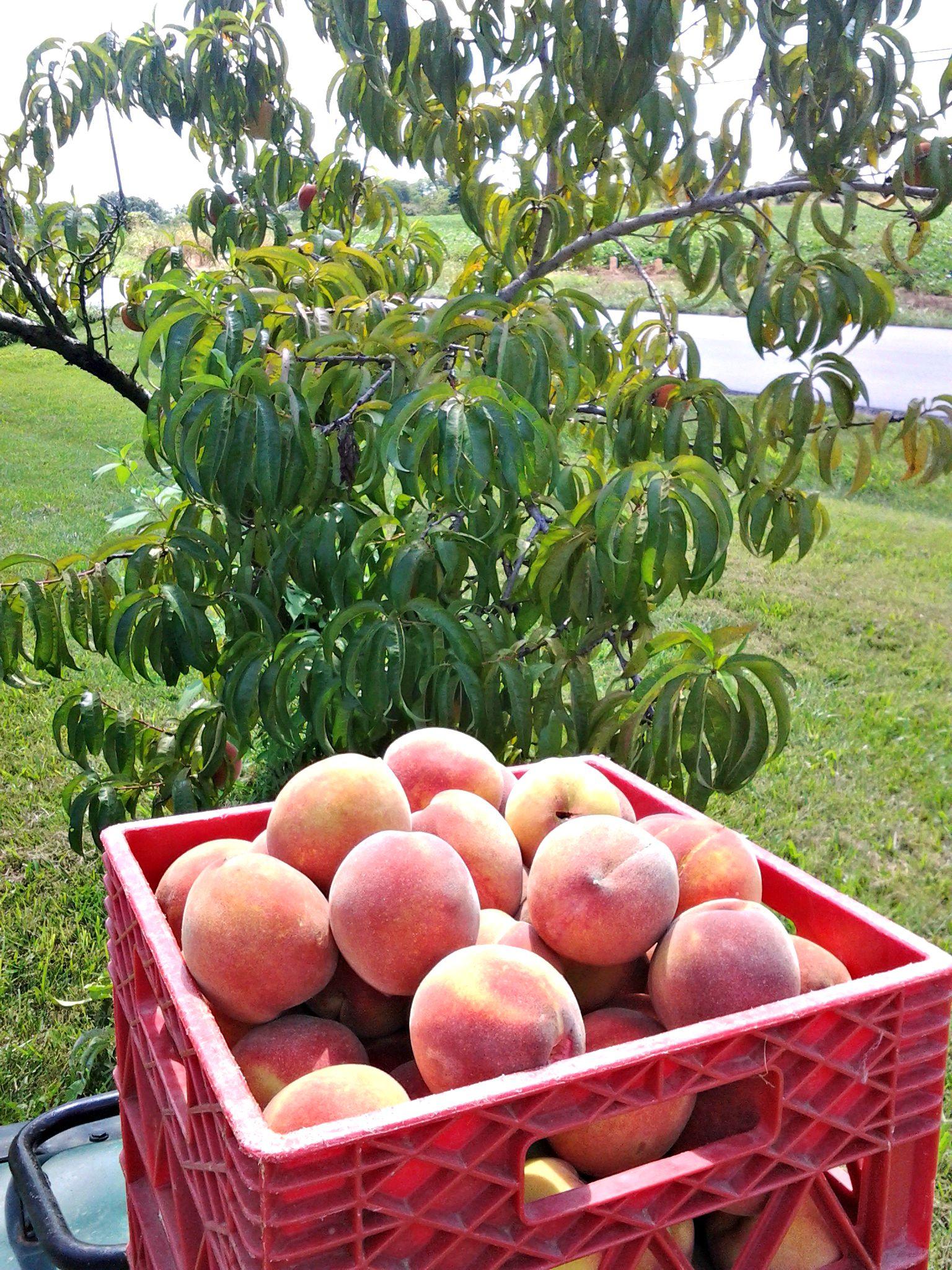Canned Peach Spice Jam