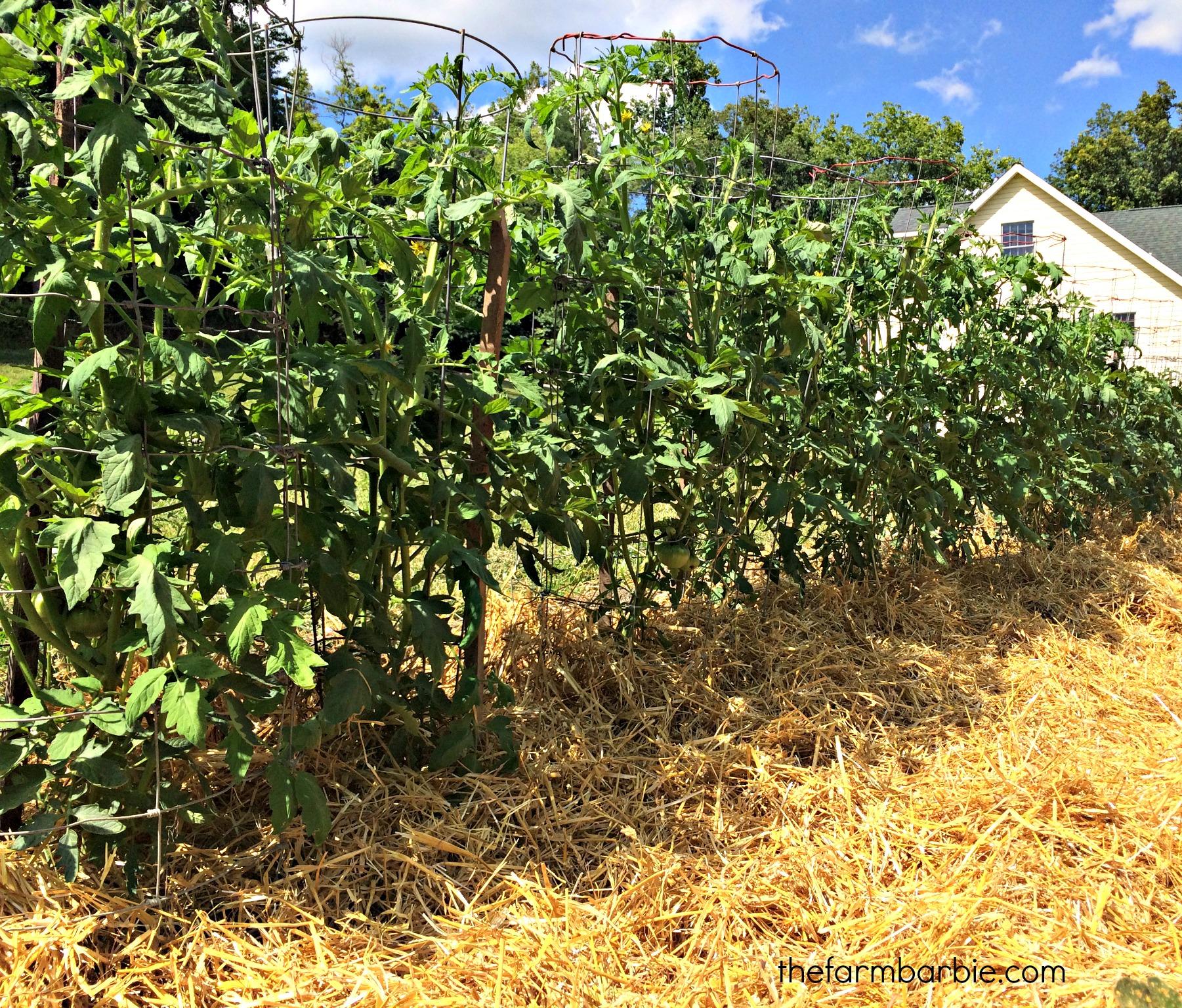 tomatoes 1.23