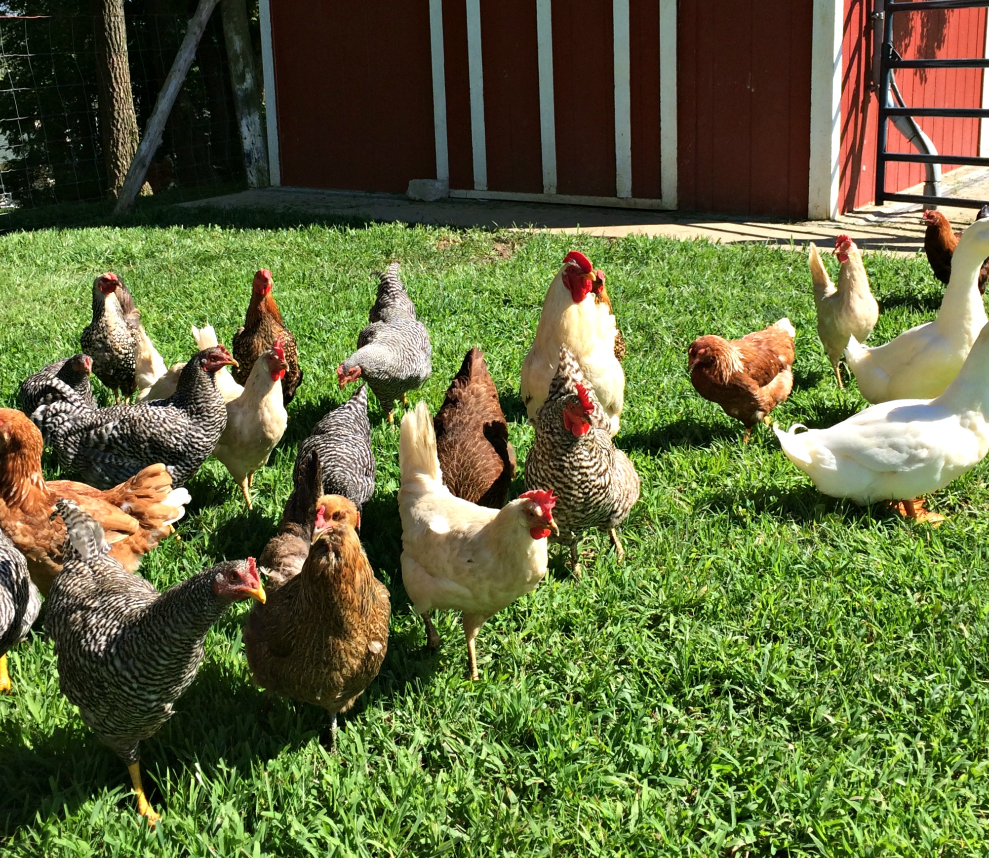 How To Keep Chickens Out Of The Garden