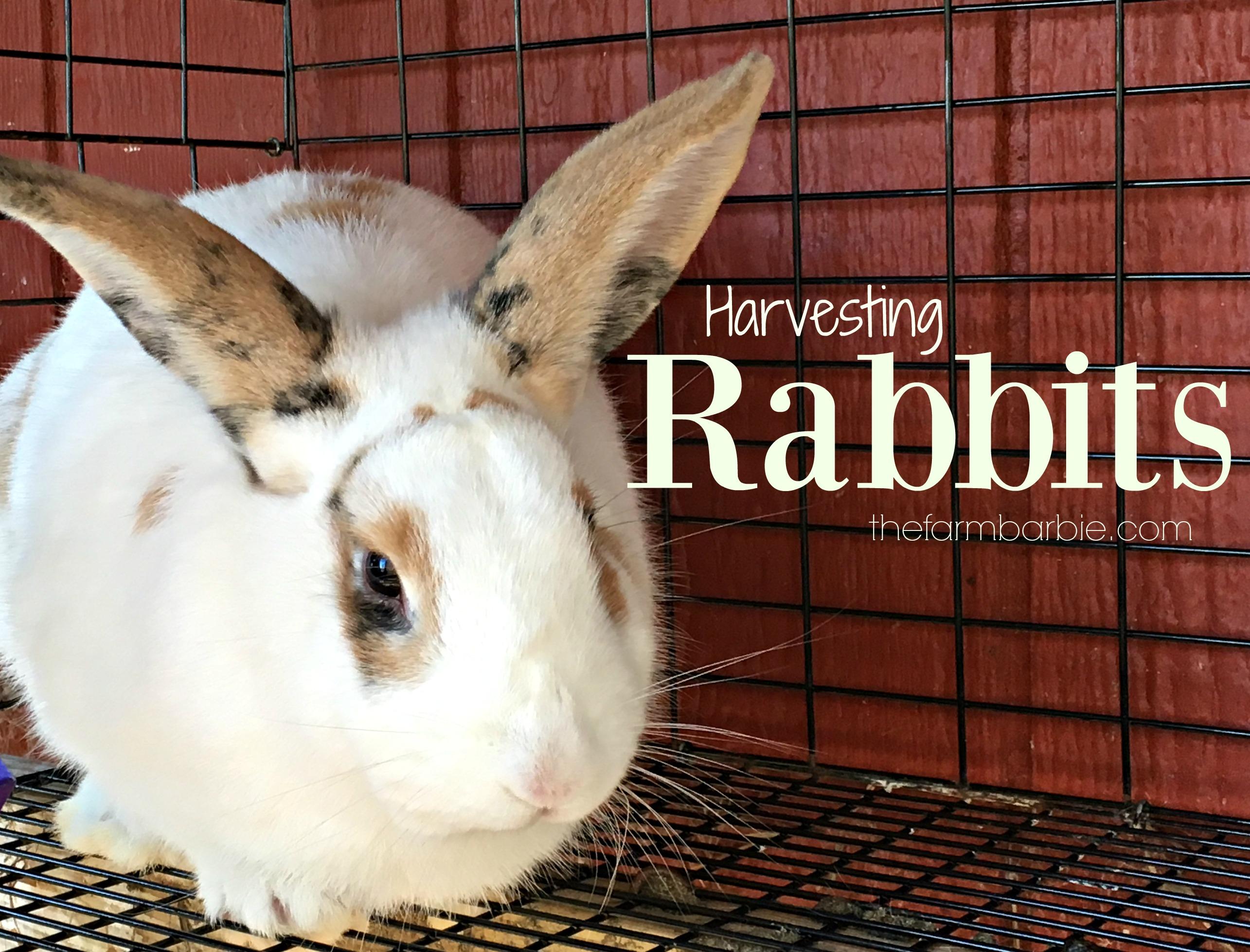 Harvesting Rabbits!!  Look Away!!