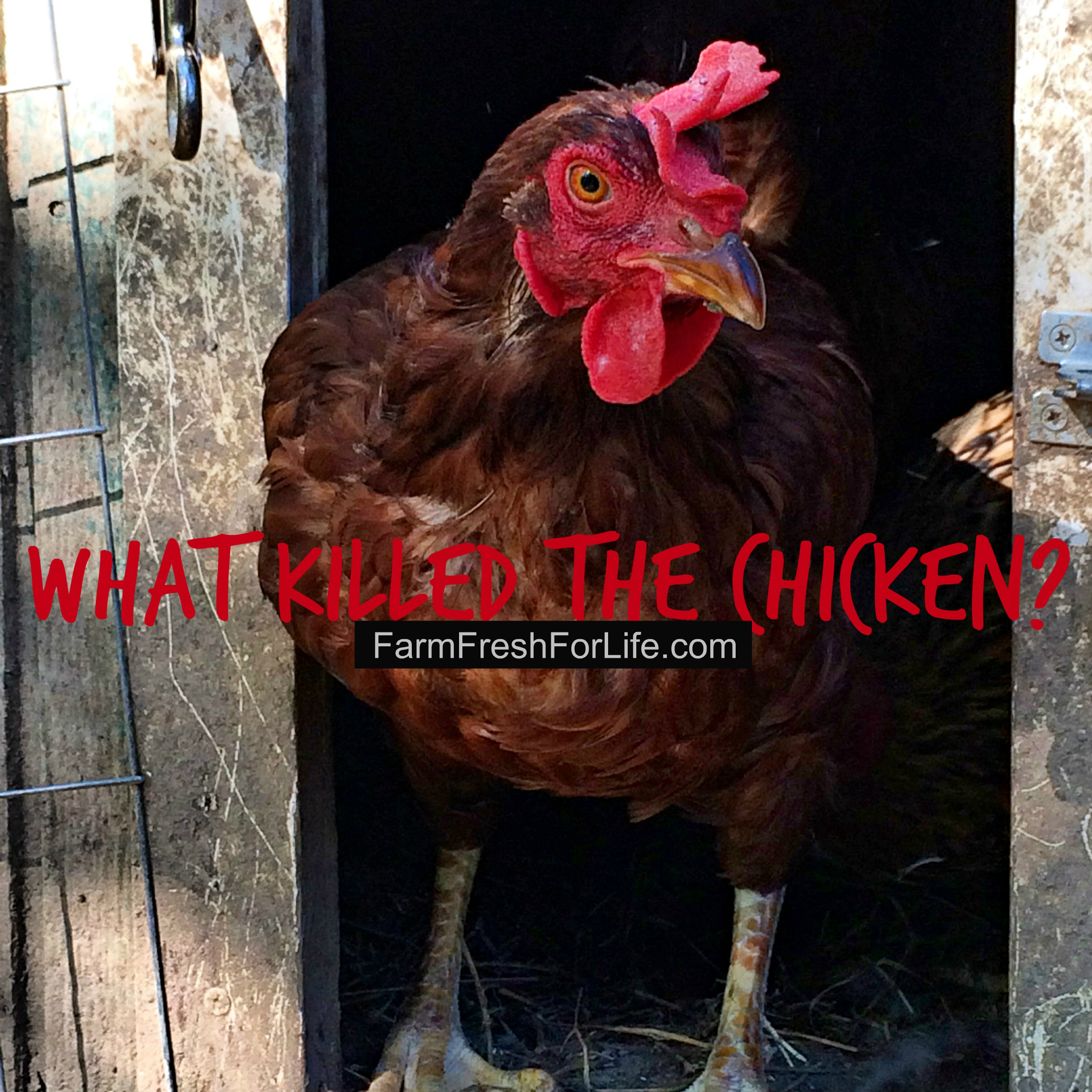 What Killed the Chicken – Farm Fresh For Life – Real Food for