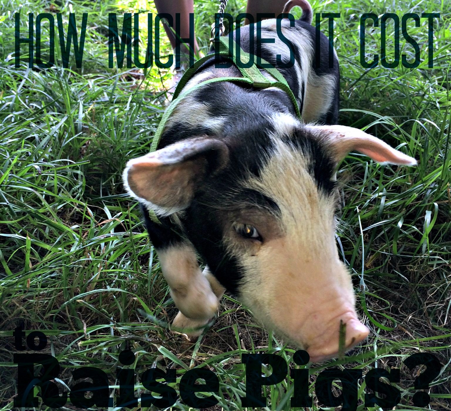 How Much Does It Cost To Raise a Pig? (Premium) – Farm Fresh
