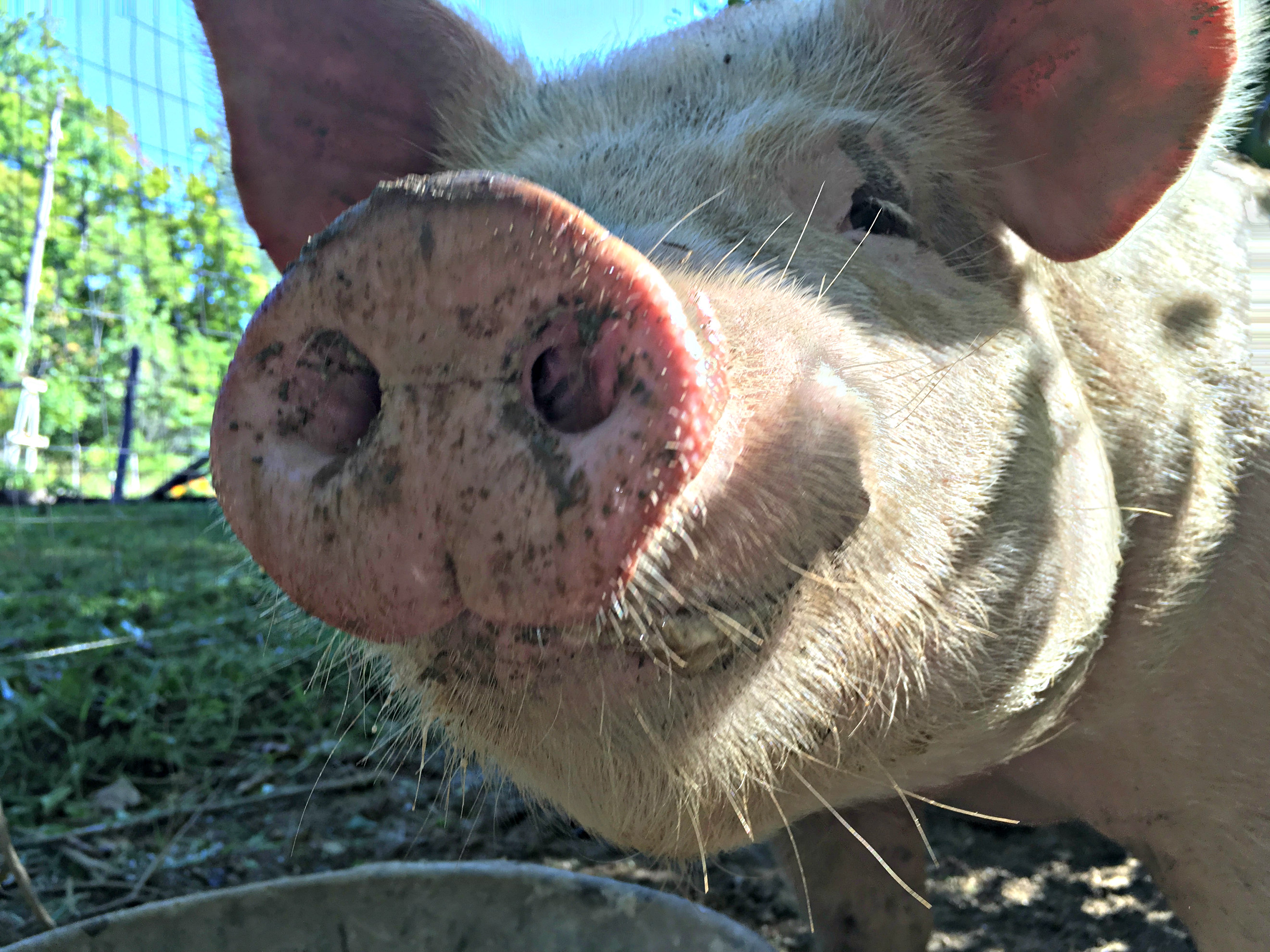 The Short Cut to Pork – How to Raise Pigs Fast