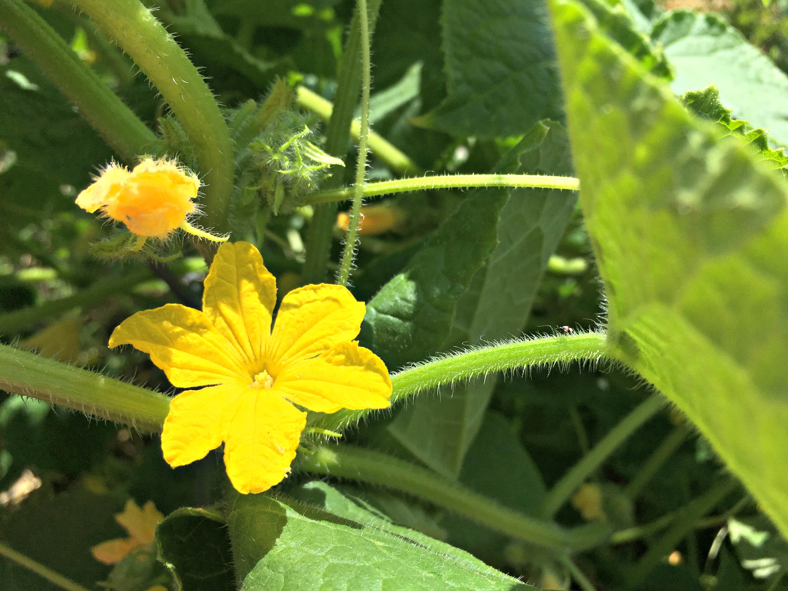 How To Grow Lots Of Cucumbers Farm Fresh For Life Real Food For